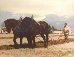 Hosie McKay with his team of Percheron horses Pat and Mike.