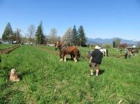 chilliwack plowing match 2016 139